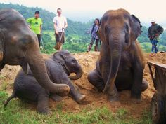 Visit the Elephant Nature Park in Chiang Mai Thailand. The lady in the background is the owner. Volunteers welcome to help care for rescued elephants! <3