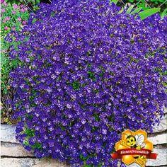 """Blaukissen """"Cascade Blue"""",3 Pflanzen"""