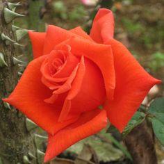 朱雀 Sujaku  ハイブリッドティ 1977年 京阪ひらかた園芸 日本 花は透き通ったオレンジ朱色。
