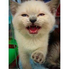 White kitten rrrr
