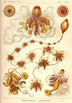 """Plate 7 'Siphonophorae' from """"Kunstformen der Natur"""" (1899-1904) by German naturalist & artist Ernst Haeckel (1834-1919). via Kurt Stüber"""