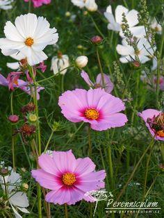 Cosmos bipinnatus - krásenka ve dvou barevných variacích Cosmos, Flowers, Plants, Florals, Universe, Planters, Flower, Blossoms, Space
