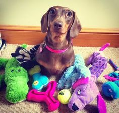 My doxie does this. Collects all her toys in one place.