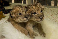 Little lions.