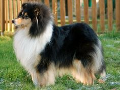 Collie-online: Pedigree database - Jelly Baby of The Lovely Bears