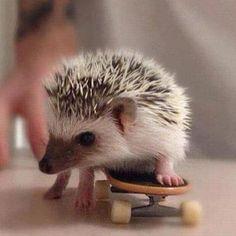 Hedgehog skateboarding