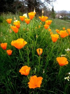 The poppies are in bloom in Sonoma