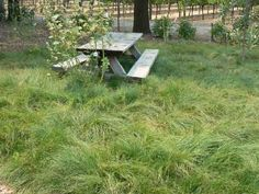 """Carex pansa (California Meadow Sedge) Water Use: Low, drought tolerant once established Size: 4"""" X 8"""" Sun: Sun/Partial Shade CA Native: Yes Deer Resistant: Rarely damaged"""