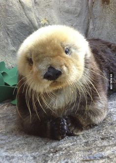 Fluffy Sea Otter