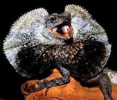 Frilled Dragon Lizard..... Hey anyone that will answer back this are poisonous right???