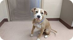 Pictures of Dolly a American Pit Bull Terrier Mix for adoption in Alvin, TX who needs a loving home.