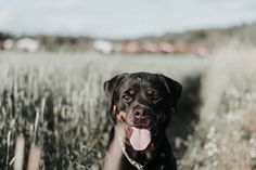 Kesäkuu vuonna 2019 Persona, Labrador Retriever, Lifestyle, Dogs, Animals, Labrador Retrievers, Animales, Animaux, Pet Dogs