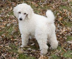 Baby Standard Poodle! #poodle