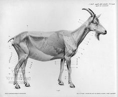 Vintage goat anatomy drawing