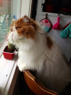 Cats quotes persian 30 ideas for 2019 Himalayan Persian Cats, Himalayan Cat, Pretty Cats, Beautiful Cats, Cute Cats And Kittens, Kittens Cutest, Video Chat, Persian Kittens, Exotic Shorthair