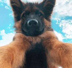 Let's take a selfie with the clouds. #germanshepherdworld #germanshepherdlove #germanshepherdlovers #germanshepherds #gsdpuppies #blackgsd #blackgermanshepherd #forevergermansheps #gsds #germanshepherdofinstagram #gsdlover #gsdsofigworld #gsdofig #gsddaily #gsdsofinstagram #thegermanshepherdworld #collarbuddies #gsdpage #gsd4life #gsdstagram #germanshepherdsonline #gsdnation #ilovemygsd #gsdcloudy #gsdmalinoislove #gsdlovers #instagsd #gsdpost #gsdofigworld #germanshepherdonline