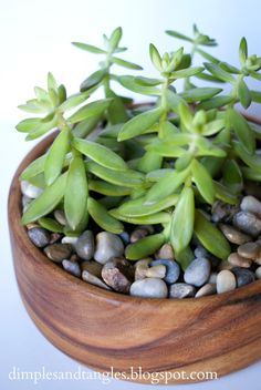 Dimples and Tangles: Succulents in a thrift store wooden salad bowl