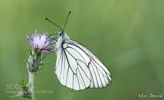 Black-veined White (İrfan Demirel / karşıyaka / Türkiye) #SLT-A57 #macro #photo #insect #nature