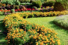marigolds in garden As a child, I always helped my mother tend to the garden, and one of the flowers that I always remember planting is marigolds. They are bright orange or yellow a Marigolds In Garden, Growing Marigolds, Hydrangea Garden, Planting Flowers, Pepper Companion Plants, Herb Companion Planting, Front Garden Landscape, Garden Landscaping, Marigold Flower