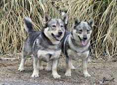 Pet Dogs, Dogs And Puppies, Dog Cat, Pets, Wolf Corgi, Corgi Mix, Dog Mixes, A Husky, Animal Quilts