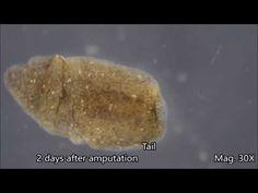 Mark drollinger asexual reproduction regeneration