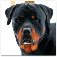Welcome To Greendale Rotts Rottweilers, Labrador Retriever, Dogs, Cute, Animals, Labrador Retrievers, Animales, Animaux, Rottweiler
