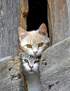 kitty cat pair kittens coming out of the barn gatos I Love Cats, Crazy Cats, Cool Cats, Pretty Cats, Beautiful Cats, Simply Beautiful, Cute Kittens, Cats And Kittens, Ragdoll Kittens