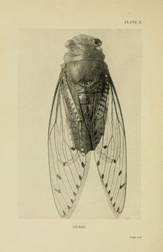 """compendium-of-beasts: """" Cicada """""""