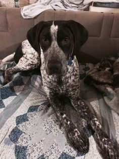 A white and black ticked German Shorthaired Pointer is laying on a blue and white blanket on top of a couch
