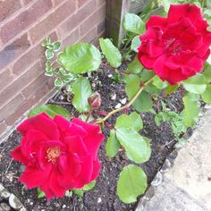 garden flower photos only blog post june 2015 lylia rose blooms 3