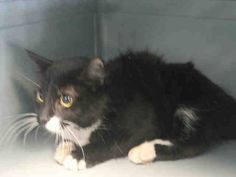 TO BE DESTROYED 3/20/15 *NYC* Brooklyn Center * A volunteer writes: Island probably got her name because she wants you to be calm. At first, she will be nervous and will watch your every move. After half a minute of letting her sniff me, she flopped over and showed her tummy. I gently pet her and the purring started! *   My name is ISLAND. ID # A1028963. I am a female black and white dom sh mix. I am about 2.  I came in on 02/27/2015 from NY 11238, ABANDON. Group/Litter #K15-005249.