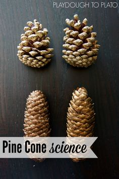 Pine Cone Science. Perfect science activity for fall!