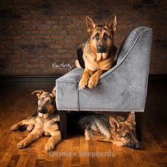 I love my German Shepherds.#GermanShepherds #dogs