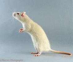http://www.warrenphotographic.co.uk/photography/bigs/10510-Albino-rat-tripoding.jpg