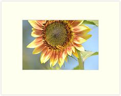 """Summer Sunflower"" Matted Prints by pencreations 