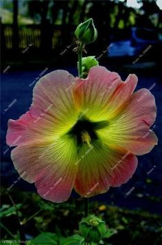 ~~Morning ~ morning glory by Arayik Babayan(Ray)~~ // this looks like a hibiscus (or something related to it) to me -LW Flower Garden, Pretty Flowers, Planting Flowers, Plants, Beautiful Blooms, Amazing Flowers, Beautiful Flowers, Hibiscus Flowers, Hibiscus