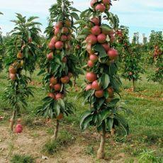 Колоновидная яблоня. Секреты ухода