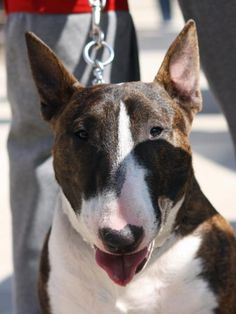 Bull terrier - Les avis et les photos des internautes - Choisir son chien