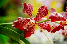 Vanda Orchid Photograph by Pravine Chester
