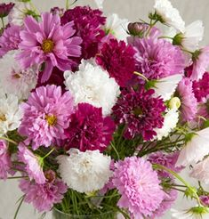 """Double Click Cosmos Mix  Product ID: 1780  Unusual double blooms in a range of colors.  Tall plants with large, fully-double and semi-double blooms. Shades of carmine, pink, and white make this a great cut flower and garden addition. Ht. 42-46"""". Avg. 3,900 seeds/oz. Packet: 25 seeds $3.95 + $4 shipping"""