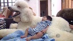 O poodle GG serve até de cama para o pequeno Davi, de 2 meses (Foto: reprodução EPTV)
