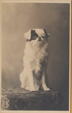 Our LITTLE DOG DAISY with a BLACK PATCH over her RIGHT EYE ~ c1910 BEAUTY