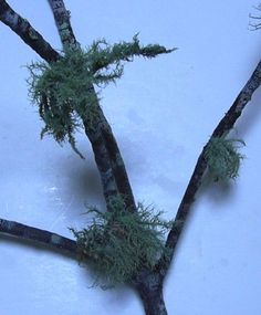 """Identifying usnea: one attachment to tree, inner core of the """"trunk"""" is white and sometimes elastic, """"leaves"""" are usually gray-green and round (not flat)"""