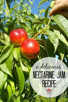 Yum! The bounty of summer turns into an amazing nectarine jam. This recipe is easy too!