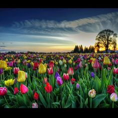 A sea of tulips at the Wooden Shoe Tulip Fest by Ethan Abelov.