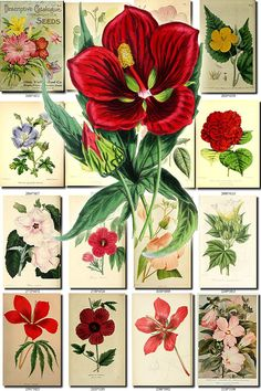 HIBISCUS-2 Collection of 70 vintage images botanical picture High resolution digital download printable 300 dpi nice excellent print art $7 etsy