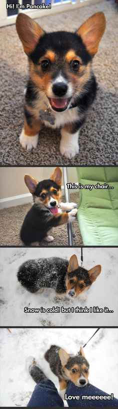 Pancake the happiest corgi…
