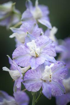 Snow Clouds, Blue Clouds, Larkspur Flower Tattoos, Tattoo Flowers, Larkspur Plant, Growing Gardens, Poisonous Plants, Growing Seeds, Gypsophila