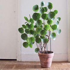Aujourd'hui coup de coeur pour cette plante originaire de chine, le Pilea peperomioides ou 'plante à monnaie chinoise', j'adore son allur...