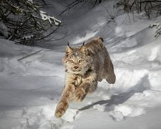 Wes et Dotty Weber – Art Big Cats, Cool Cats, Cats And Kittens, Lynx, Animals And Pets, Cute Animals, Wild Animals Photography, Wild Tiger, Domestic Cat